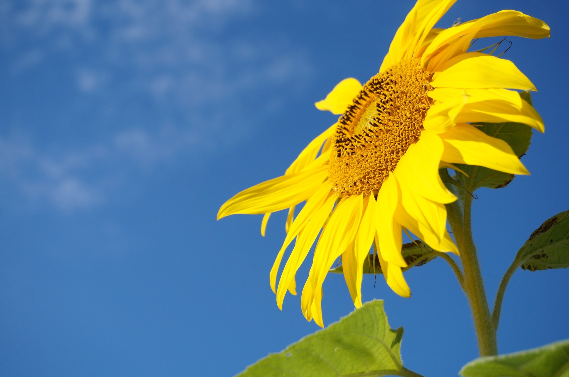 Brighter skin dull skin sunflower